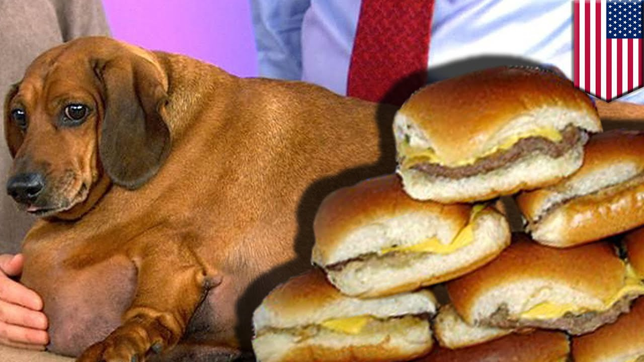 Pizza Wallpaper Cute Obese Weiner Dog Loses 44 Pounds After No Longer Eating