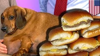 Obese Weiner Dog Loses 44 Pounds After No Longer Eating White Castle Burgers