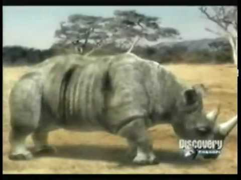 Animal Face Off - Elephant vs. Rhinoceras