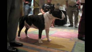 Silverwood 2009 Bull Terrier Participant Preview