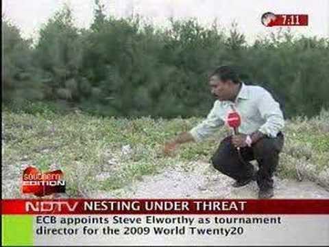 Casuarina Plantations threaten the Olive Ridley