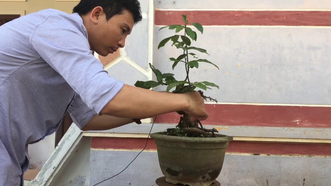 Tạo dáng cho cây mai bonsai và cái kết ko có hậu ( xấu)