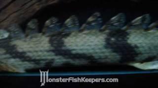 "ezman ""s Tail-Less Endlicheri Bichir : MonsterFishKeepers.com : HD Quality"