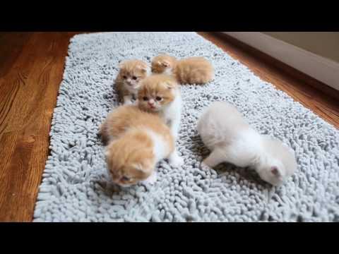 Kalai's Scottish Fold Kittens