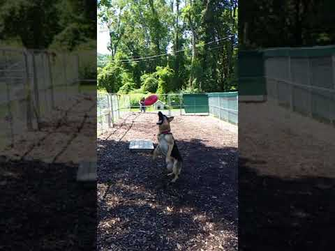 German Shepherd Frisbee fail