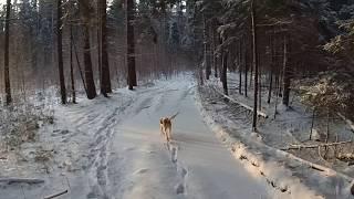 охота на зайца и лису 21 01 2018 с  гончими.