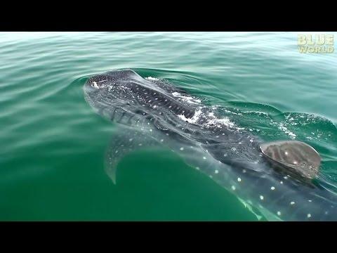Whale Sharks of Holbox   JONATHAN BIRD'S BLUE WORLD