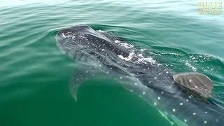 Whale Sharks of Holbox   JONATHAN BIRD