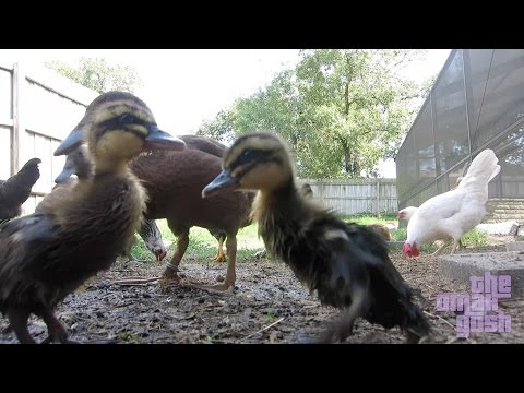 BACKYARD DUCKS AND CHICKENS