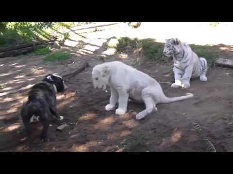 Белый Лев против Бульдога!! с вмешательством Тигра