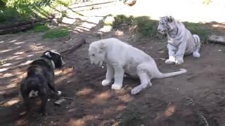 Белый Лев против Бульдога!! с вмешательством Тигра(, 2015-06-27T21:27:36.000Z)