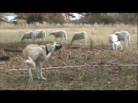 Turkish Boz Livestock Guardian's first introduction to a new lamb.
