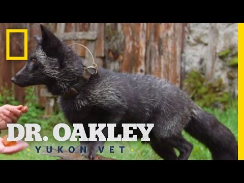 The Silver Fox Facts | Yukon Do It