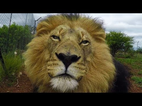 Walking With Lions | The Lion Whisperer