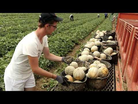 La production du melon à la SCEA MARSOL