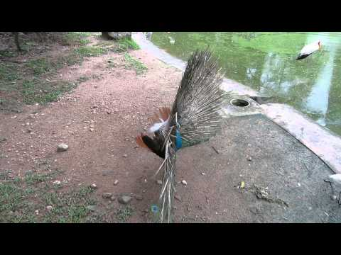 Peafowl in Malaysia