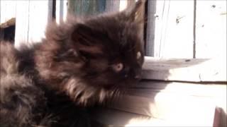 Котенок черный, девочка. Красноярск