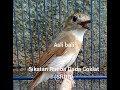 Sikatan Rimba Dada Coklat Srdc Bali Gacor(.mp3 .mp4) Mp3 - Mp4 Download