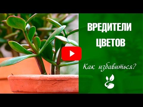 ВРЕДИТЕЛИ КОМНАТНЫХ РАСТЕНИЙ и меры борьбы с ними ❖❖❖ Защита растений от вредителей