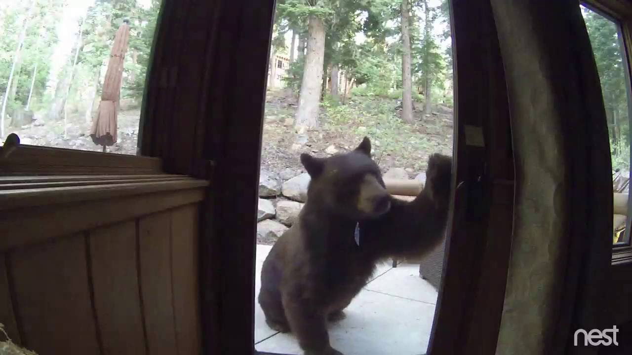 Electric Fence Shocks Bear In Lake Tahoe Ca Youtube