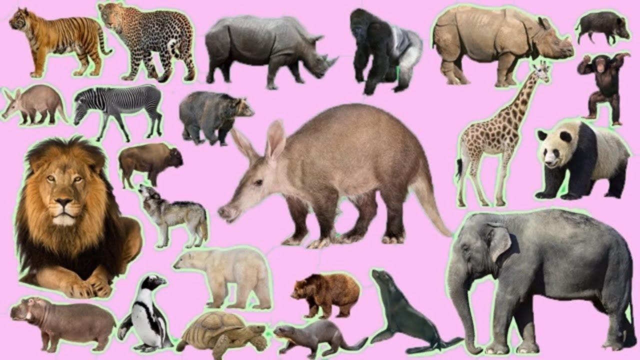 bunyi haiwan untuk kanak kanak ( gambar haiwan liar) - YouTube