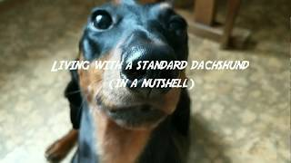 Living with a standard dachshund