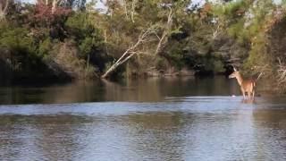 Doe swimming across Black Creek