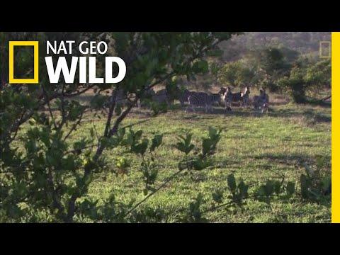 Lions Use Teamwork to Hunt | Nat Geo Wild