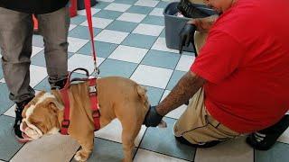 English Bulldog Breeding | Collection & Artificial insemination