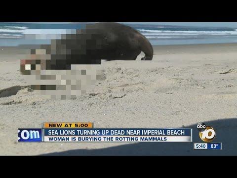 Sea lion problem takes a disturbing turn