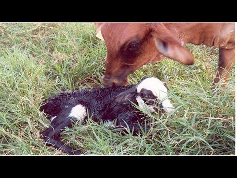 Curso Manejo da Vaca Gestante no Parto e Pós-Parto
