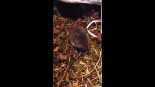 Лемминги - небольшие мышевидные грызуны, размером немного меньше крысы, с коротким хвостом.