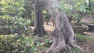 Tác phẩm SUNG CỰC ĐẸP nhà vườn MINH QUANG-SHARING THE WORK OF BEAUTIFUL HOME MINH QUANG GARDEN thumbnail