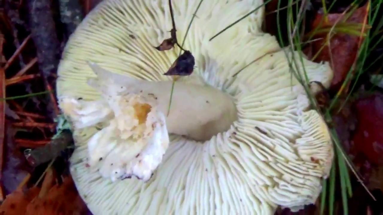 Рядовка серая. Как распознать. Съедобные грибы в лесу ...