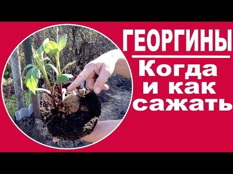 Выращивание георгин. ЧАСТЬ 3 Когда и как сажать георгины в открытый грунт