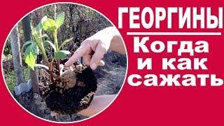 Выращивание георгин . ЧАСТЬ 3 -  Когда и как сажать георгины в открытый грунт