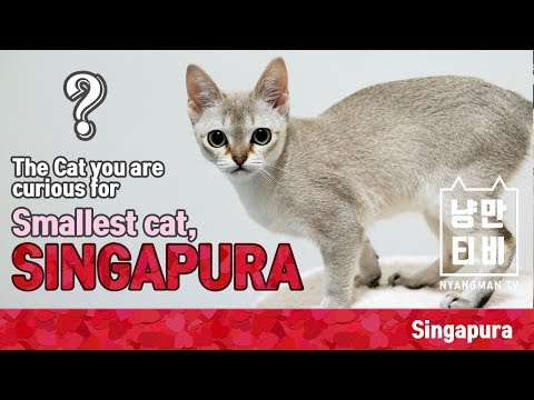 [NMCAT] The Cat you are curious for - Smallest cat, Singapura