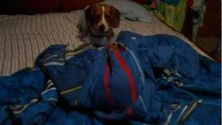 Funny Beagle Puppy Lily Making The Bed