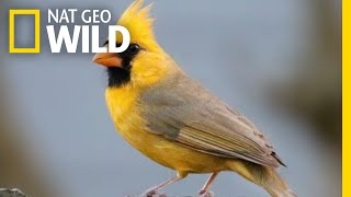 Watch: Rare Yellow Cardinal Spotted in Alabama | Nat Geo Wild