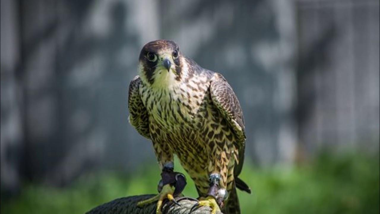 Şahin Kuşunun Özellikleri, Nasıl Bir Kuştur, Neyle Beslenir, Nerede Yaşar?