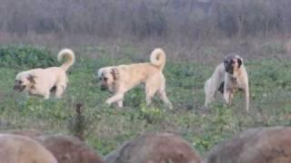 shepherd dog kangal