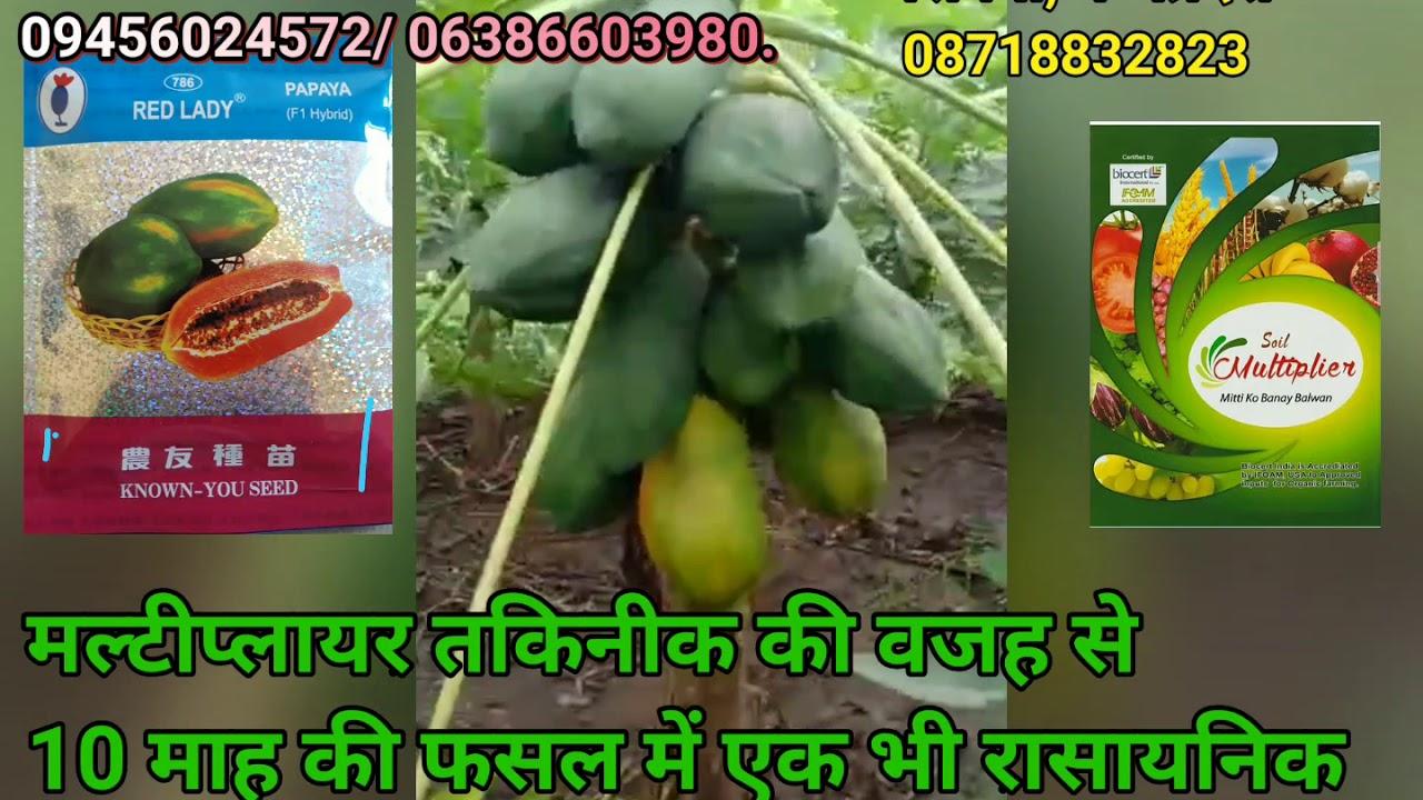 सिवनी, मध्यप्रदेश में पपीते की खेती मल्टीप्लायर तकिनीक से- 09456024572/ 06386603980.