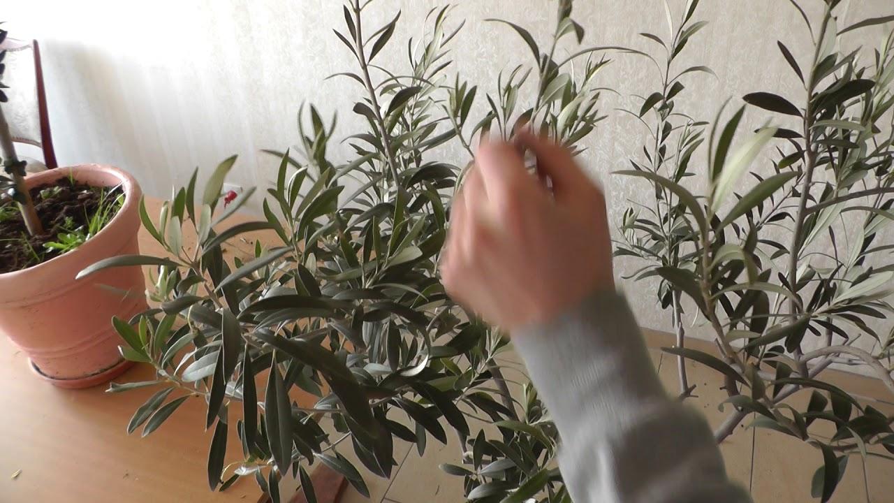 Olivenbaum Schneiden Anleitung : olivenbaumschnitt wie schneide ich einen olivenbaum youtube ~ Yuntae.com Dekorationen Ideen