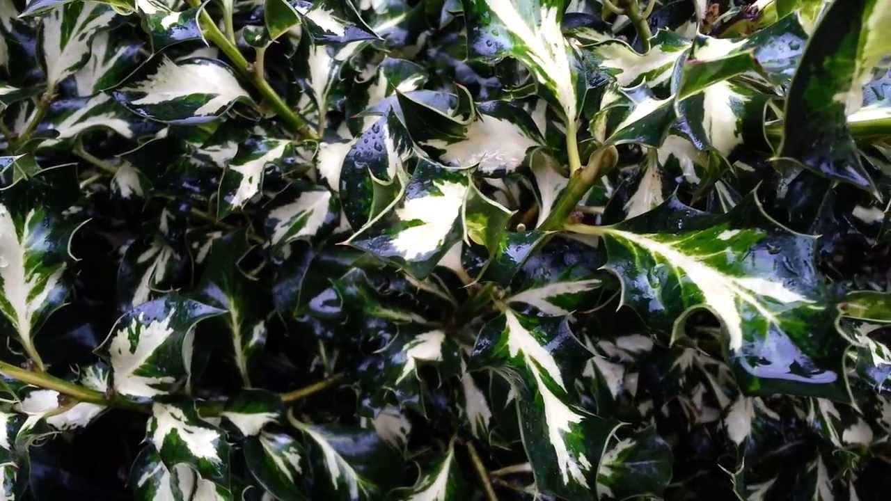 Christmas Holly Tree.Ilex Aquifolium Variegata Holly Tree English Holly European Holly Christmas Holly Hd 01
