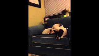 French Bulldog Gets Cranky -cranky Spanky