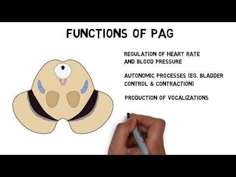 2-Minute Neuroscience: Periaqeuductal Gray (PAG)