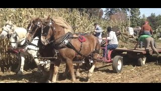 North Country Draw Horse Club corn harvest
