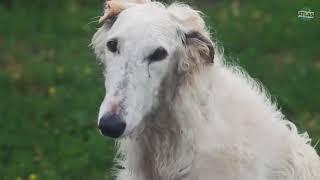 |Świat Zwierząt| 10 Ras Psów, Które Mogą Zabić Wilka