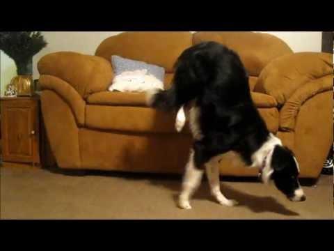 Amazing Handstand Dog!