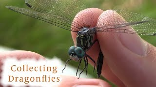 How to Collect Dragonflies